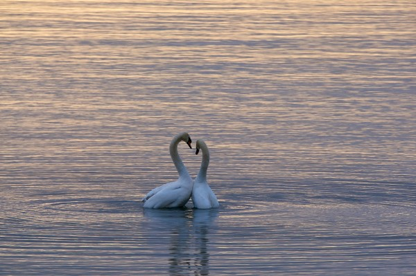 Two swans embracing.